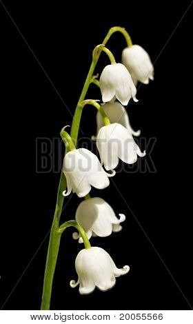 Lily Of The Valley Flowers On A Black Background