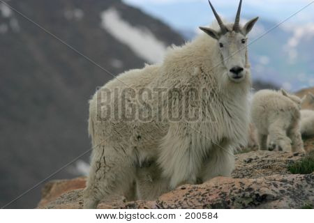 Mountain Goat Mt Evans 2