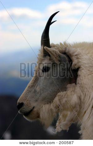 Mtn Goat Closeup