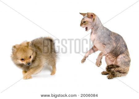 The Puppy Of The Spitz-Dog And The Canadian Sphynx