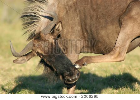 Wilderbeest Scratching