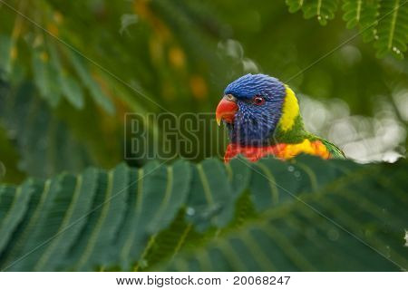 Rainbow Lorikeet peek-a-boo