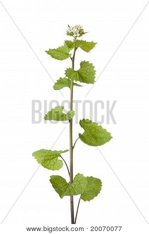 Fresh blooming garlic mustard