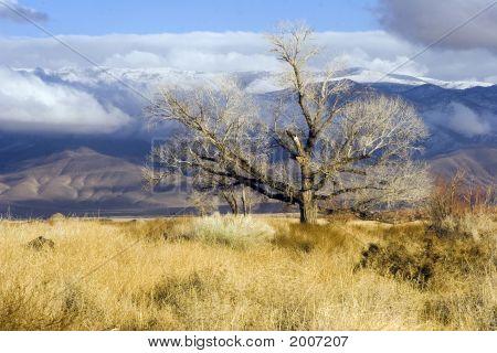 Eastern Sierra Tree In Winter