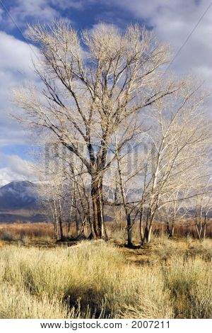 Bare Trees, Golden In Winter