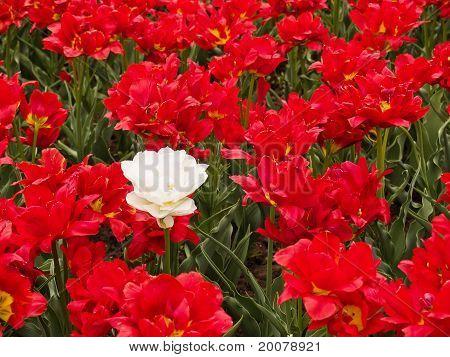 field of beautiful tulips
