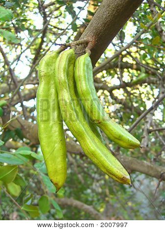 Carob Fruit