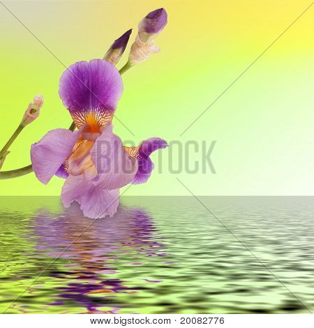 Beautiful Flower Iris Reflection In The Water