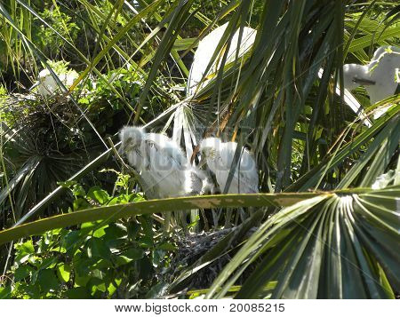 Egret Fledglings
