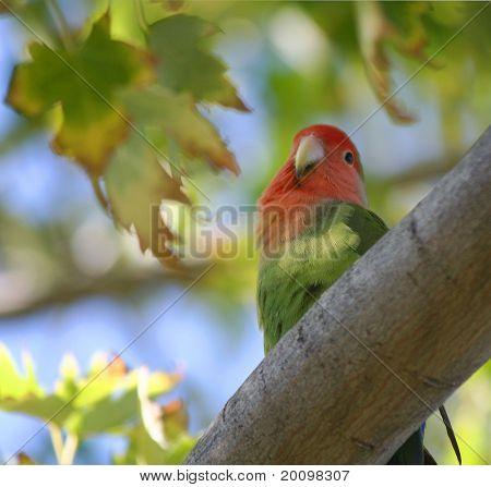 Lovebird in Tree
