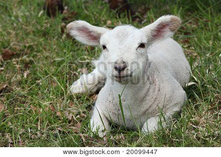 Young Spring Lamb