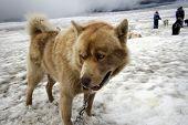Dogsledding Dog