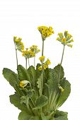 image of cowslip  - Yellow flowering Primula veris on white background - JPG