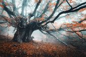 Spooky Tree In Fog. Old Magical Tree With Big Branches And Orang poster