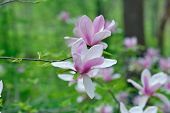 foto of saucer magnolia  - Beautiful magnolia flowers with natural green background - JPG