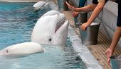 foto of cetacea  - Beluga whale in the pool and hands of people - JPG
