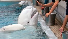 stock photo of cetacea  - Beluga whale in the pool and hands of people - JPG