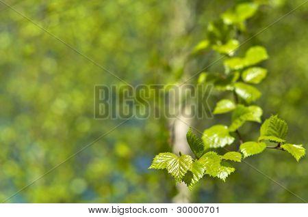 桦木年轻叶子。