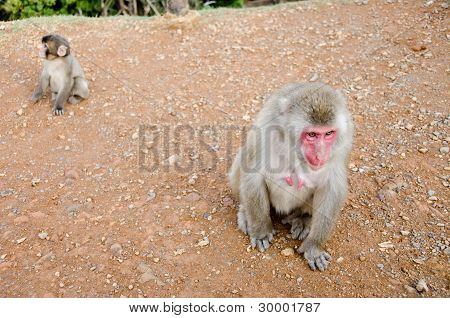 Female Japanese Macaque Sitting On The Ground