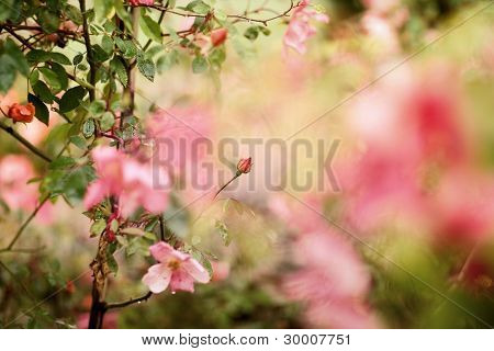 Beautiful bud of rose with soft focus as flower background