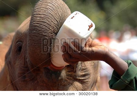 Baby Elephant Being Fed Milk