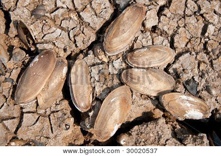 dry mussel on the cracked ground