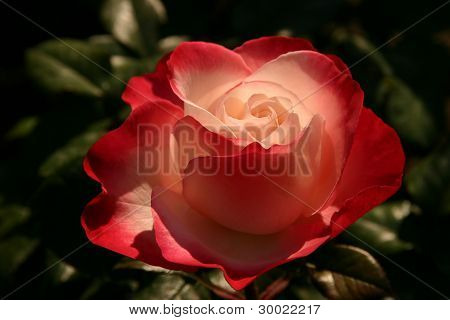 Beautyful Rose