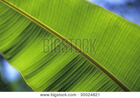 Banana Tree Leaf Details