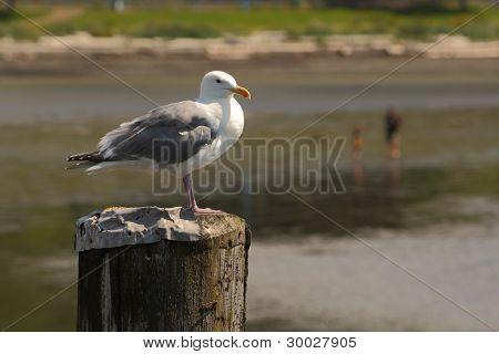 Seagull on Piling at Beach