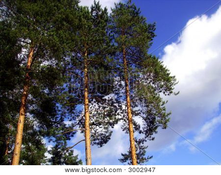 Pine Tops And Trunks.