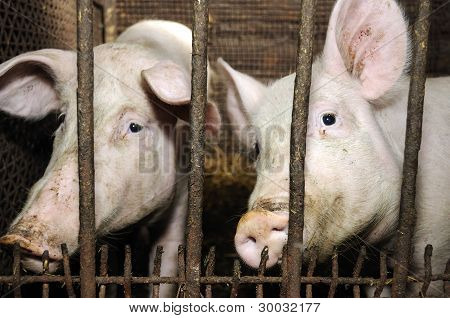 Pigs In Barn