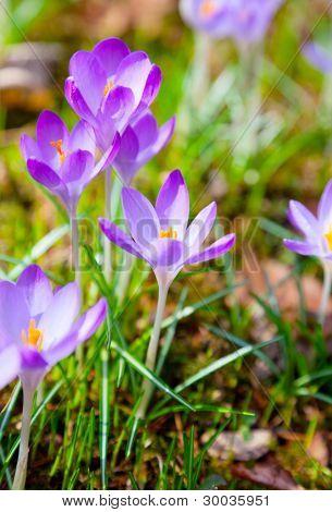 Spring Purple Crocus Flowers