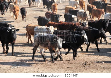 Cattle In Feed Lot