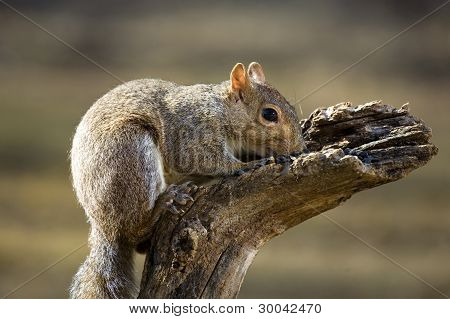 Snorting Squirrel