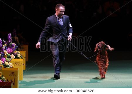 New York 14. Februar: Adam Bernardin Griffe Irish Red Setter grand Champion Shadagee gefangen rot Hande