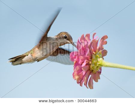 Hummingbird feeding on a pink flower in flight
