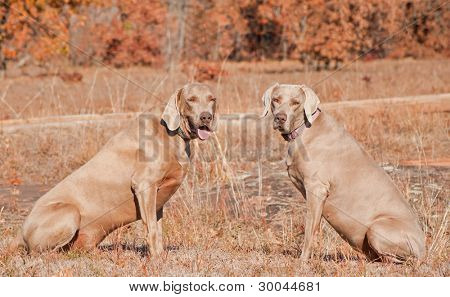 Two Weimaraner dogs sitting in grass against dry brown winter background looking at the viewer