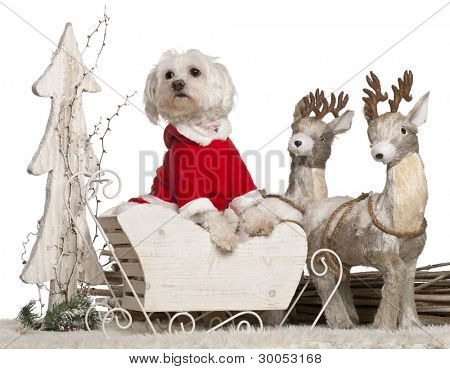 Maltese, 1 year old, in Christmas sleigh in front of white background