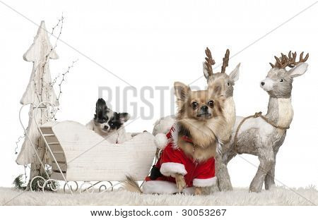 Chihuahua, 3 years old, and Chihuahua puppy, 9 weeks old, in Christmas sleigh in front of white background