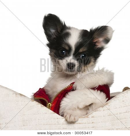 Chihuahua puppy, 9 weeks old, in Christmas sleigh in front of white background