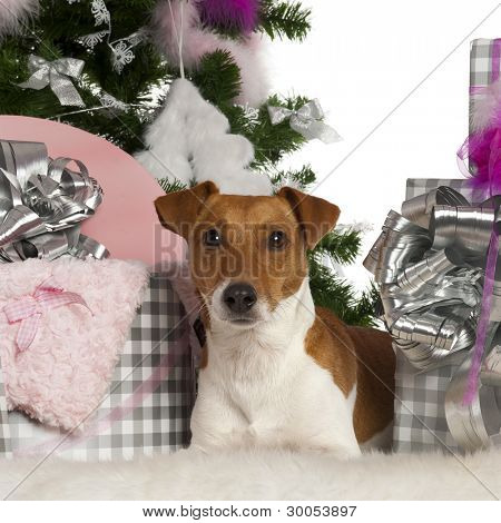 Jack Russell Terrier, 2 years old, with Christmas tree and gifts in front of white background