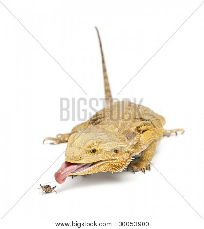 Zentrale Bartagame, Pogona Vitticeps, jagt eine Grille in front of white background