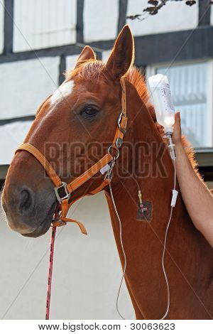 horse with cannula in vein  infusion