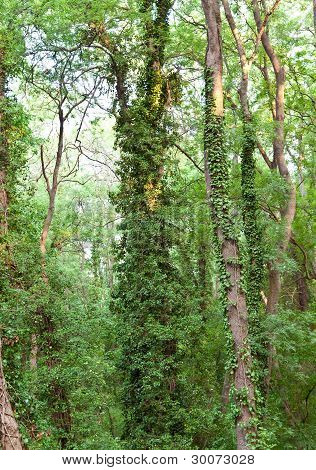 The trees twined lianas in natural park. Albena. Bulgaria.