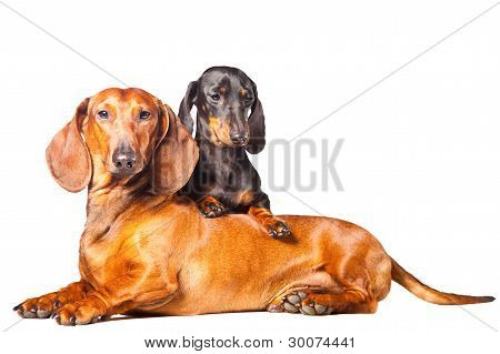 Dachshund Dogs Posing On Isolated White Background