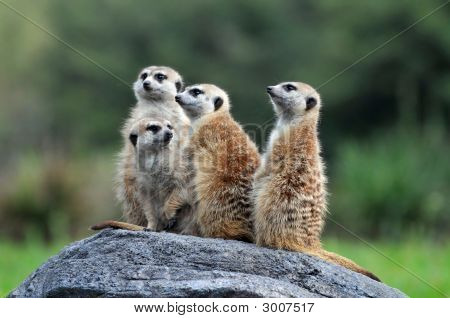 Meerkats Standing On Rock