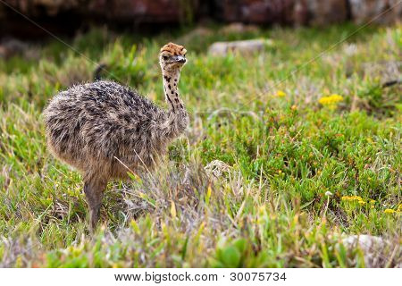 Small Young Ostrich Walking In Grassland
