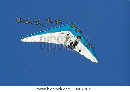 Geese And Microlite flying together in formation