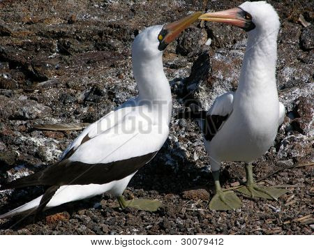 Boobys in the galapagos