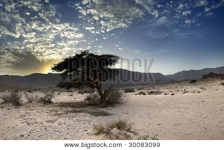 Lonely tree in desert just before rain, Israel